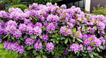 lilac bush blooming rhododendron