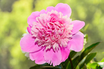 Pink peony flower with bud, bokeh blur background, genus Paeonia, family Paeoniaceae