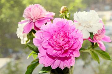 Pink peony flower with bud, bokeh blur background, genus Paeonia, family Paeoniaceae