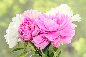 Bouquet of pink and white peony flowers with buds, bokeh blur background, genus Paeonia, family Paeoniaceae