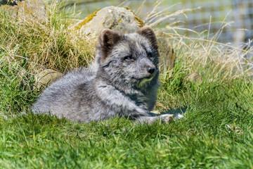Wolf Cub Lying on Grass
