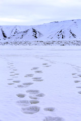 Fresh Tracks on the Ice, from a Polar Bear with two Cubs. Spitsbergen, Svalbard, Norway