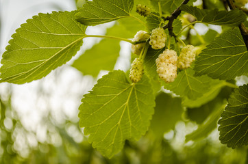Mature fruit of the white mulberry