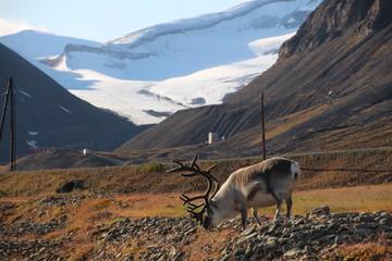 Spitzbergen Rentier vor Landschaft