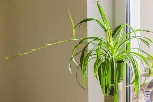 Chlorophytum, One Flower in a green pot on a shelf in the apartment. Light room. Design.