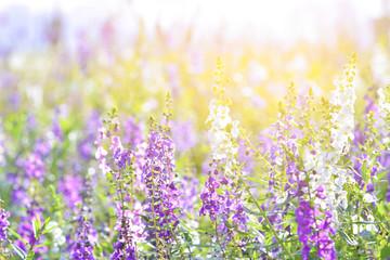 Soft focus on lavender flower, beautiful lavender flower.Sunset over a violet lavender field