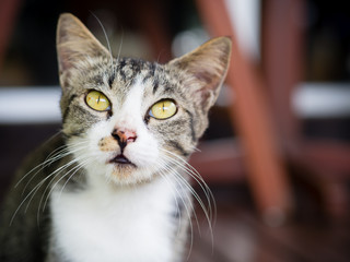 Closeup a beautiful face of Thai cat.