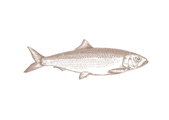 Drawing of whole herring