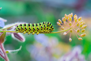 Green caterpillar swallowtail butterfly Papilio machaon on the branch of fennel, macro on light background