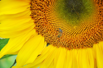 The core of a yellow ripe sunflower with a bee collecting pollen. Close up.