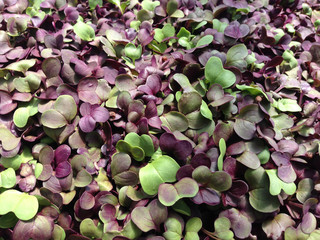 Close-up of radish microgreens, with purple and green leaves