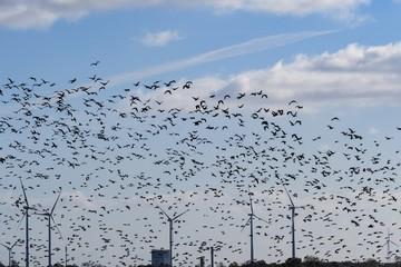 Anfliegender Schwarm von Gänsen vor Windrädern