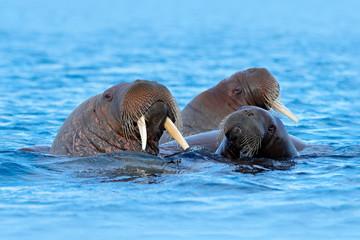 Fototapeta premium Walrus, Odobenus rosmarus, large flippered marine mammal, in blue water, Svalbard, Norway. Detail portrait of big animal in the ocean.Big animal stick out from sea in habitat.