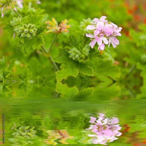 Fleurs De Geranium Rosat Ile De La Reunion Stock Photo And Royalty