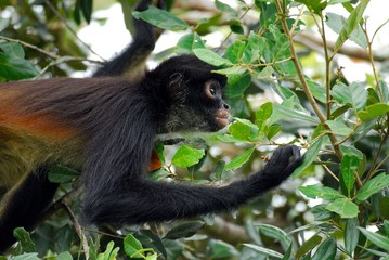 Photo sur Plexiglas Singe Spider monkey (Ateles geoffroyi) - Belize