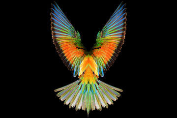 colored wings of a bird of paradise on a black background