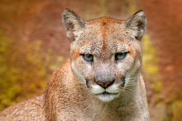 Foto auf Leinwand Puma Portrait of cougar. Danger Cougar sitting in the green forest. Big wild cat in nature habitat. Puma concolor, known as mountain lion, puma, panther, green vegetation, Mexico. Wildlife scene, nature.