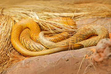 Inland taipan, Oxyuranus microlepidotus, Australia, most poisonous snake. Poison snake in the grass. Danger animal from Australia. Taipan, wildlife scene from nature.