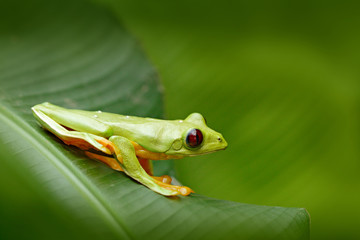 Flying Leaf Frog, Agalychnis spurrelli, green frog sitting on the leaves, tree frog in the nature habitat, Corcovado, Costa Rica. Exotic animal, tropic jungle forest. Cute amphibian with dark red eye