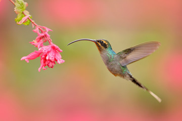 Green Hermit, Phaethornis guy, rare hummingbird from Costa Rica, green bird flying next to beautiful pink flower, action feeding scene in green tropical forest, animal in nature habitat. Pink bloom.