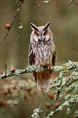 Wall Mural - Long-eared Owl sitting on the branch in the fallen larch forest during autumn. Owl in nature wood nature habitat. Bird sitting on the tree, long ears. Owl hunting. Green lichen Hypogymnia physodes.