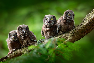 Four young owls. Small bird Boreal owl, Aegolius funereus, sitting on the tree branch in green forest background, young, baby, cub, calf, pup, Sweden. Funny wildlife scene from nature habitat.