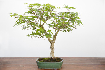 Acer palmatum arakawa bonsai bonsai on a wooden table and white background