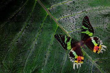 Chrysiridia rhipheus, Madagascan sunset moth, beautiful green and black butterfly sitting on green leaves, endemic in Madagascar. Tropic insect in the nature habitat. Wildlife scene form jungle.