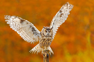 Owl in orange autumn leaves forest. Long-eared Owl with orange oak leaves during autumn. Bird in the nature habitat. Fall orange forest with wild owl. Cute bird in the nature. Owl with open wings.