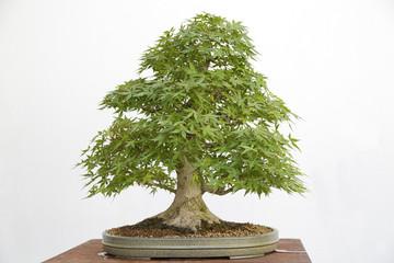 Acer palmatum yamamomiji bonsai on a wooden table and white background