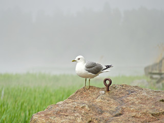 White seagull sitting on a rock by a misty sea.