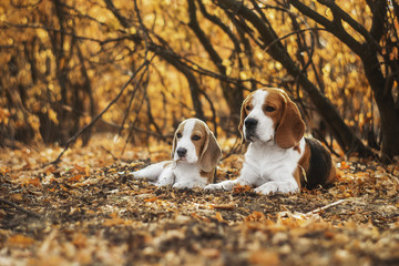 beafle dog and puppy portrait
