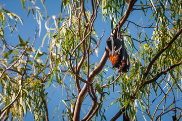 Two Bats hanging together in a gum tree at Katherine Gorge, Northern Territory, Australia.