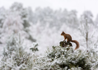 Red squirrel (Sciurus vulgaris) perched on a stump in the snowy Cairngorms, Highlands, Scotland, United Kingdom, Europe