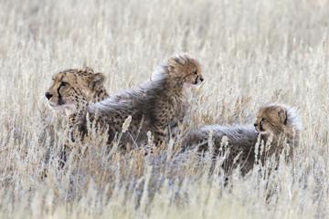 Cheetah (Acinonyx jubatus) with cubs, Kgalagadi Transfronter Park, Northern Cape, South Africa, Africa