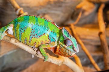 Detail of Chameleon in terrarium.