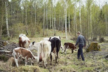 Farmer walking by cattle on field