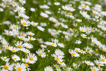camomile or ox-eye daisy meadow