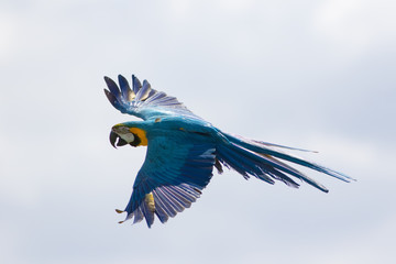 Blue and yellow macaw in flight. Wild parrot flying. South American tropical bird.