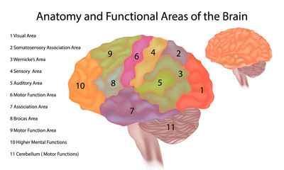 Brain anatomy - A side view illustration of the human brain with functional areas