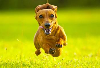 Miniature Dachshund Running