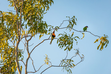 Two Rainbow Lorikeet parrots in a gum tree in the sunset light at Katherine camping grounds in Nitmiluk National Park, Northern Territory, Australia.