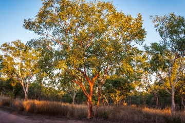 Typical Australian landscape with sunlit red gum trees at Katherine camping site, Nitmiluk National Park, Northern Territory, Australia.