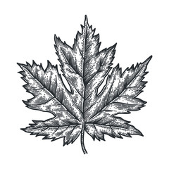 Engraving Maple Leaf isolated on white background.