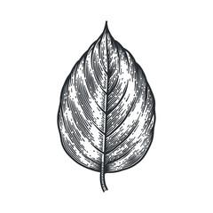 Engraving Poplar Leaf isolated on white background.