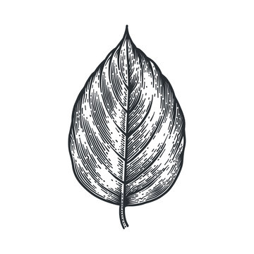 Engraving Poplar Leaf isolated on white background.
