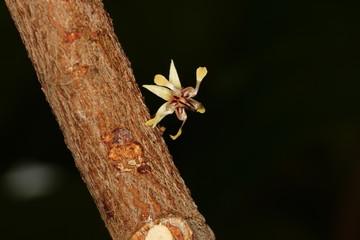 Kakao Blüte