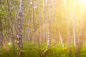 Sonnenschein im Birken-Wald Sommer Sommer