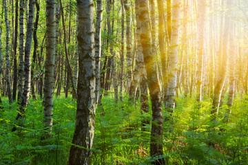 Brikenwald im Sonnenschein Hintergrund