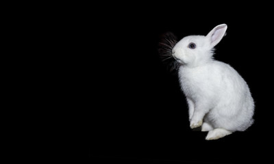 White rabbit on isolate a black background. Wall mural